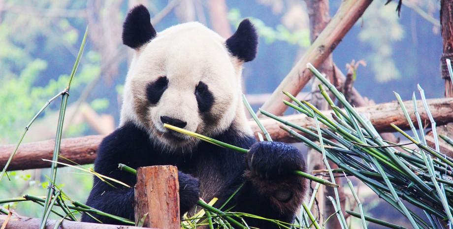 Pandas et temple des Lamas