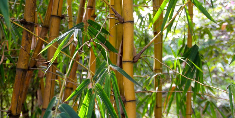 Les multiples facettes du bambou