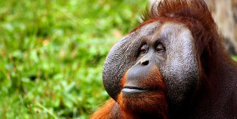 Rencontre avec les orangs outans