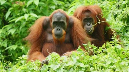 Rencontre avec les orangs outangs